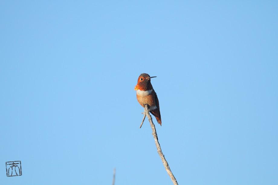Allen's Hummingbird 121310