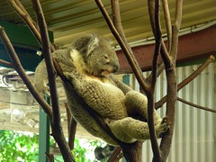 One of the guys at Lone Pine Koala Sanctuary
