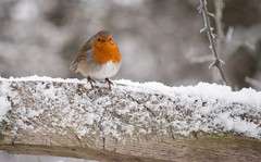 Chubster (RachelWilks) Tags: morning winter red snow cold bird robin frosty coventry