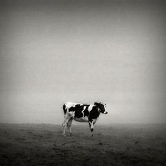 Middle Earth #04460016(1) (filipe franco) Tags: bw fog landscape cow nebel paisagem nostalgia pasto campo kodakbw400cn nebbia fotoblog pretoebranco niebla dimma nevoeiro  pastagem blackwhitephotos kubrickslook