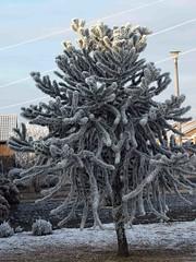 Frosty Monkey Puzzle Tree (saxonfenken) Tags: winter tree iced 220 monkeypuzzletree pregamewinner frost21st