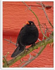 Amselmann Kurti und das Vogelhäuschen - Blackbird Kurti and the bird box (1)