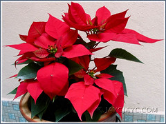 Our potted Euphorbia pulcherrima (Poinsettia, Christmas Flower/Star) in October 2006