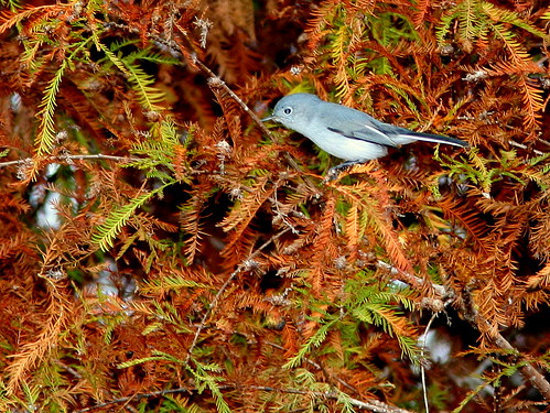 Blue-gray Gnatcatcher 20101230