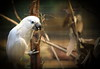 Kakak Tua (Jonathanzzz) Tags: bird singapore jurong kakaktua