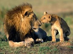 Big Cats (PDArt1) Tags: wallpaper animal bigcats africananimals