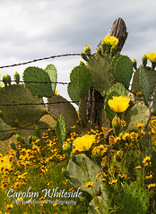 Old Fence Cactus