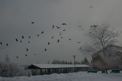 Flying crows (fsteffenhagen) Tags: winter birds crows uckermark 2010 templin