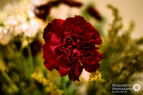 8/365 Carnation