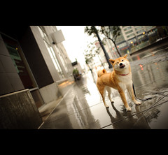 Fun in the Rain (kaoni701) Tags: sf sanfrancisco city dog reflection cute rain project puppy japanese funny bokeh suki shibainu missionbay 2010 shibaken 柴犬 52weeks 24mmf14 d700