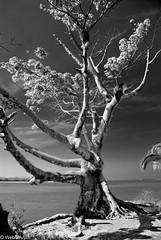 Ceiba (WebMAAC) Tags: méxico bn árbol infrared tabasco paraíso ceiba sureste chontalpa