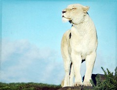 The White Queen (meg price) Tags: wild cat feline lion safaripark whitelion specanimal borealnz lesbrumes thanksforthefreetexturesfrom