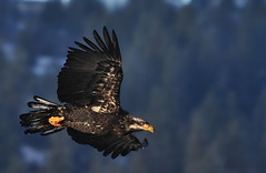 Mr. Fishy, When He Catches You, You're Through (Deby Dixon) Tags: bird nature forest photography inflight nikon dof eagle wildlife idaho raptor deby avian allrightsreserved immaturebaldeagle 2011 naturephotographer debydixon beautybay debydixonphotography
