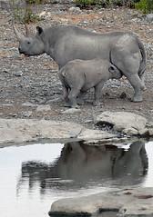 Black Rhino Calf Suckling
