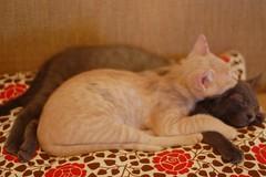 DSC_0356 (*lalalaurie) Tags: thanks kittens kitties lauriecinotto ibkc pleasedontusemypictureswithoutseekingmypermission ttybittykittycommittee