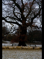 Sheltering Sheep II (SamKirk9) Tags: trees tree canon fence landscape countryside view sheep yorkshire flock fells moors 1785mm dales orton yorkshiredales samkirk swinton masham mooreland 400d samkirk9