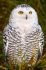 [フリー画像] 動物, 鳥類, フクロウ科, フクロウ, シロフクロウ, 201101160500