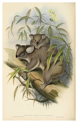 004-Koala-The mammals of Australia 1863-John Gould- National Library of Australia Digital Collections