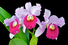 Supersonic (Paul in Japan) Tags: orchid flower color beauty cattleya lip laeliocattleya lc striking supersonic
