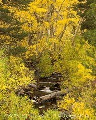 Creek in Fall, October 16, 2010 (Robert Pearce Photography) Tags: california trees fall water yellow creek landscape gold log october stream aspens folliage 2010 easternsierra flowingwater nikond200 robertpearce robertpearcephotography