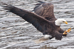 The Lunge (Explored) (topmedic) Tags: baldeagle iowa mississippiriver eagles leclaire sigma150500 lockdam14 ld14