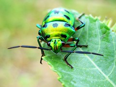 Golden Greeny Beetle (Kumaravel) Tags: macro green closeup canon bug insect madurai pongal kumaravel physis canonixus95is shensfarm mettukkundu