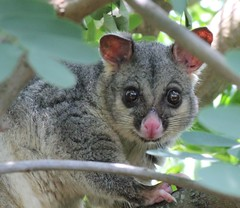 Brushtail possum (NettyA) Tags: possum australia brisbane queensland brushtail specanimal wildlifeofaustralia