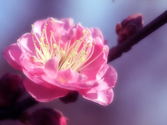 Spring Messenger (love_child_kyoto) Tags: park flower macro nature garden spring kyoto blossom gardening january plum   olympuspen   indiansummer          kitanotenmangushrine      masterphotos    microfourthirds