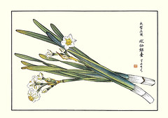 Bunchflower daffodil (Japanese Flower and Bird Art) Tags: flower bunchflower daffodil narcissus tazetta amaryllidaceae shoseki kose nihonga woodblock picture book japan japanese art readercollection