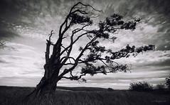 Wellhope II (-- Q --) Tags: northumberland niksoftware alnwick rothbury tree gnarly atmosphere edlingham qthompson blackandwhite