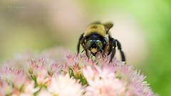 () Tags: bee flower sony sel90m28g macro backyard 2016 summer fall