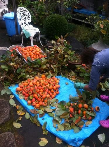 豊作の秋:庭の柿選定