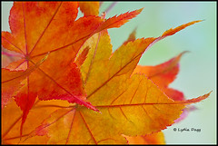 JAPANESE MAPLE LEAVES  - 8 (Lydia Dagg) Tags: colorphotoaward flickraward onlythebestofnature