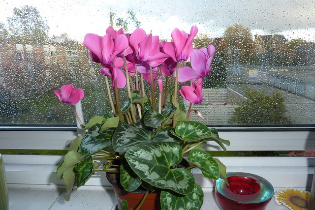 Cyclamen in window