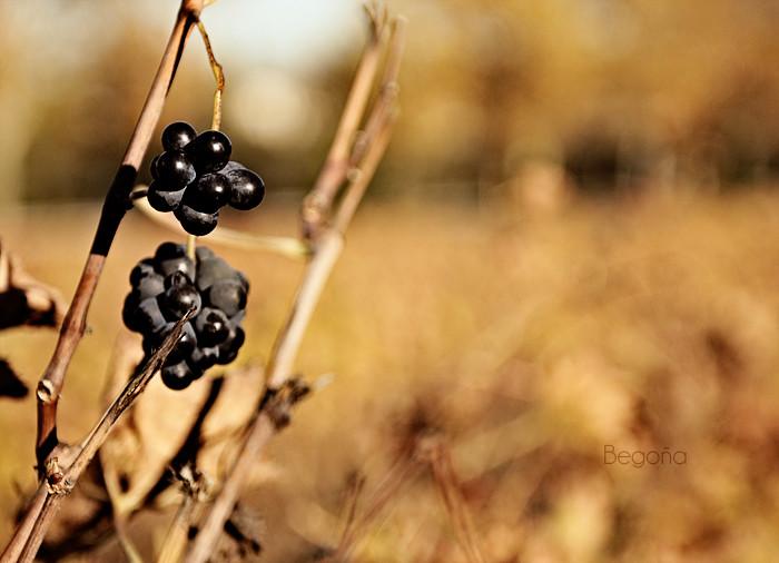 Frutos del otoño. Uva
