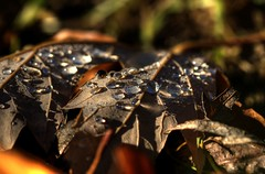 CAPOVOLTE (Lace1952) Tags: foglie brina rugiada prato acero gocce nikond300 sigmamacro150f2e8