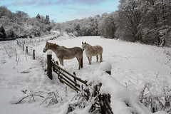 Ponies nearby the Den of Alyth. (Shandchem) Tags: winter snow scotland perthshire pony ponies alyth perthkinross