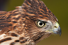 Cooper's Hawk (Nikographer [Jon]) Tags: bird fall birds newjersey october oct nj cm capemay migration captive 2010 banding coopershawk banded themeadows d300s cmnj 20101016d300s58040