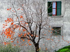 dolci tentazioni (Marsala Florio) Tags: autumn windows fall persimmons autunno cachi finestre dwwg wb5500 hz50w