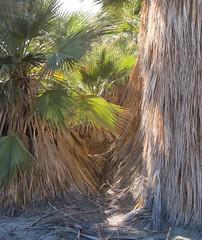 Dos Palmas Preserve (3504a) (DB's travels) Tags: california palms oasis saltonsea blm dospalmaspreserve