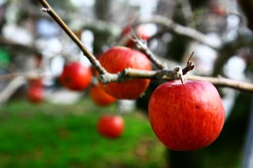 哈哈第一次看到長在樹上的蘋果!!!!(都市俗)