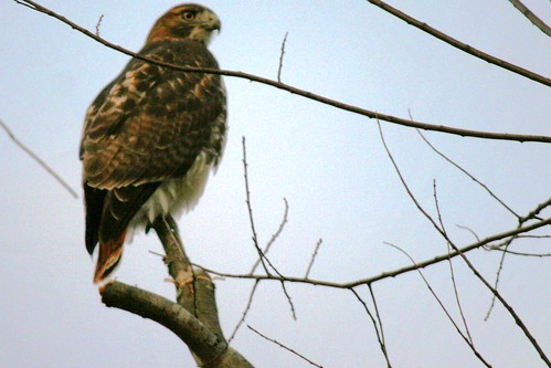 redtail on branch
