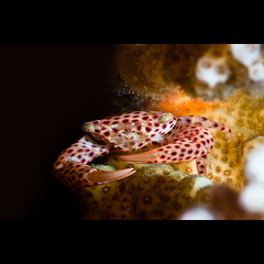 Coral crab (Martin-Klein) Tags: life blue sea freedom underwater egypt diving sharmelsheik naamabay flickrgolfclub