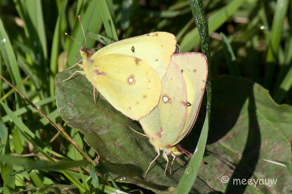 clouded sulphur butterfly  11.jpg