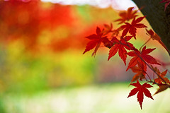 imagine (moaan) Tags: life leica autumn red orange color green yellow digital 50mm glow dof bokeh dr diary momiji summicron japanesemaple kobe utata rokko glowing hue tinted 2010 m9 f20 deathday tinged autumnaltints inlife leicasummicron50mmf20dr leicam9 diaryofnovember dedicatedtojohnlennon gettyimagesjapanq1 gettyimagesjapanq2
