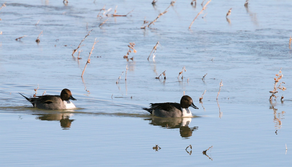 Wintering Northern PIntail