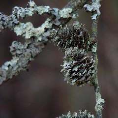 Lichen covering a pine tree's branches (Dendroica cerulea) Tags: autumn tree pine newjersey branch cone nj lichen morriscounty willowwoodarboretum