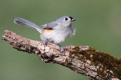 More Cold Weather (Steve Byland) Tags: bird nature canon 7d titmouse tufted bicolor baeolophus
