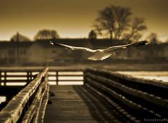 Dream Of Flight (bijoyKetan) Tags: bird boston flying flight dream tamron2875mm
