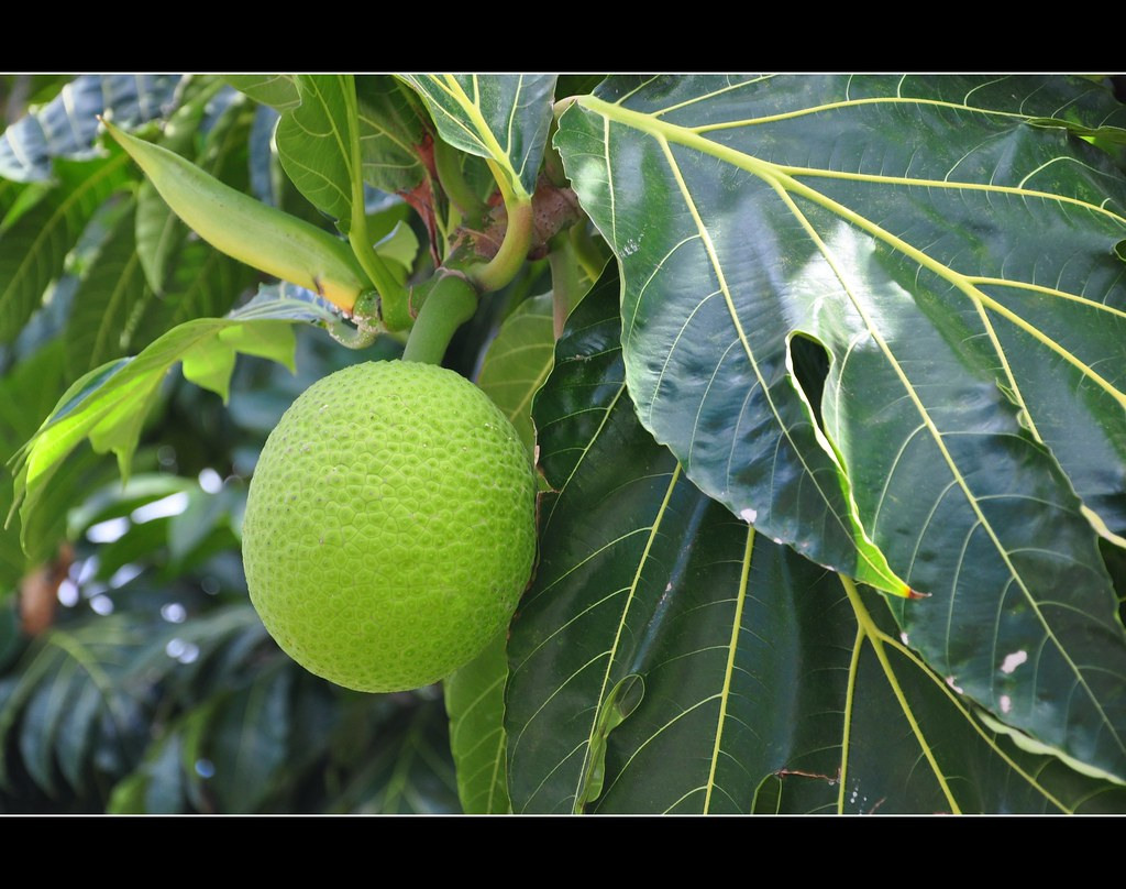 Polynesia: Uru or Breadfruit....the Fruit that changed the World
